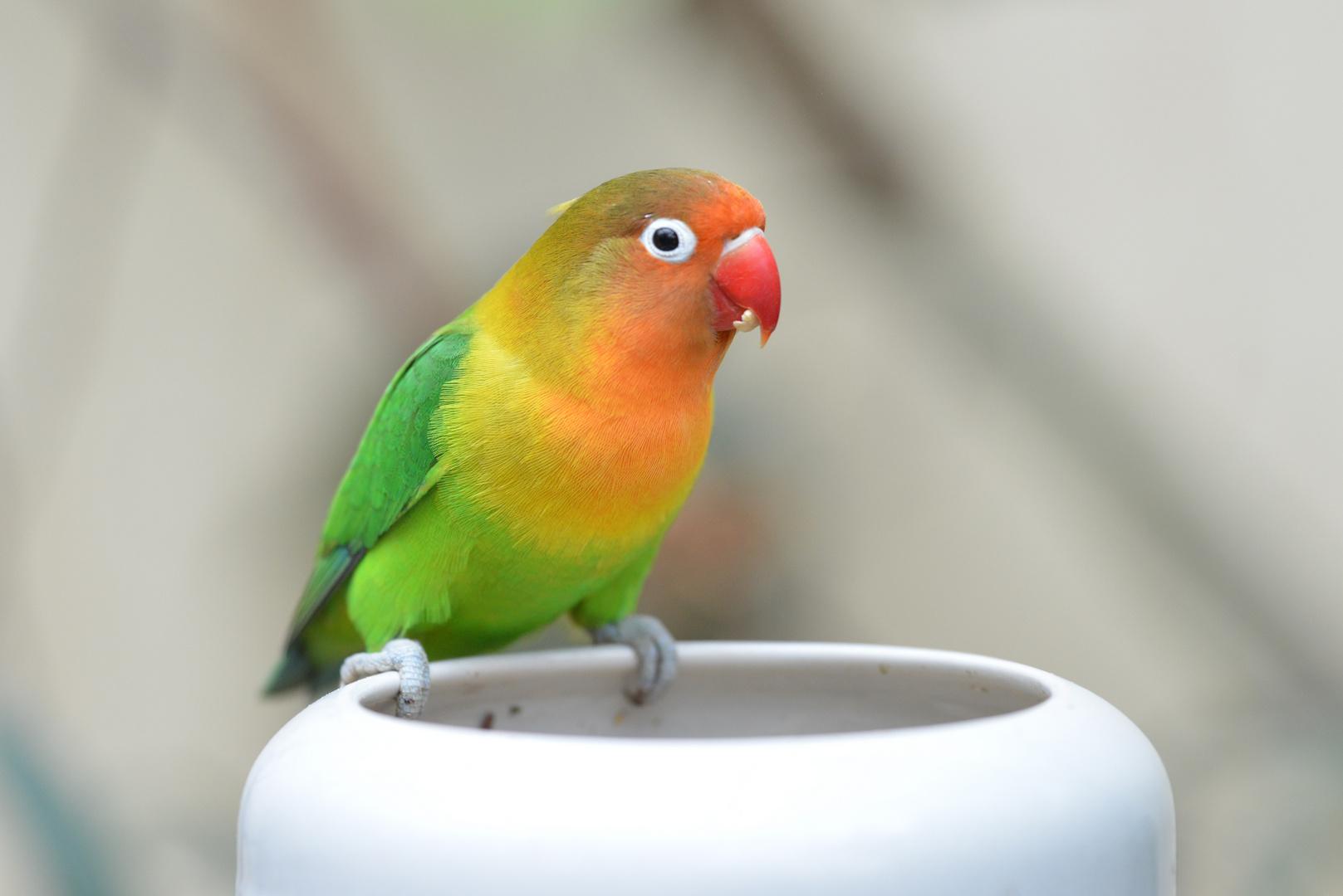 kleiner Papagei