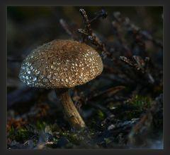 kleiner Pilz im Morgentau
