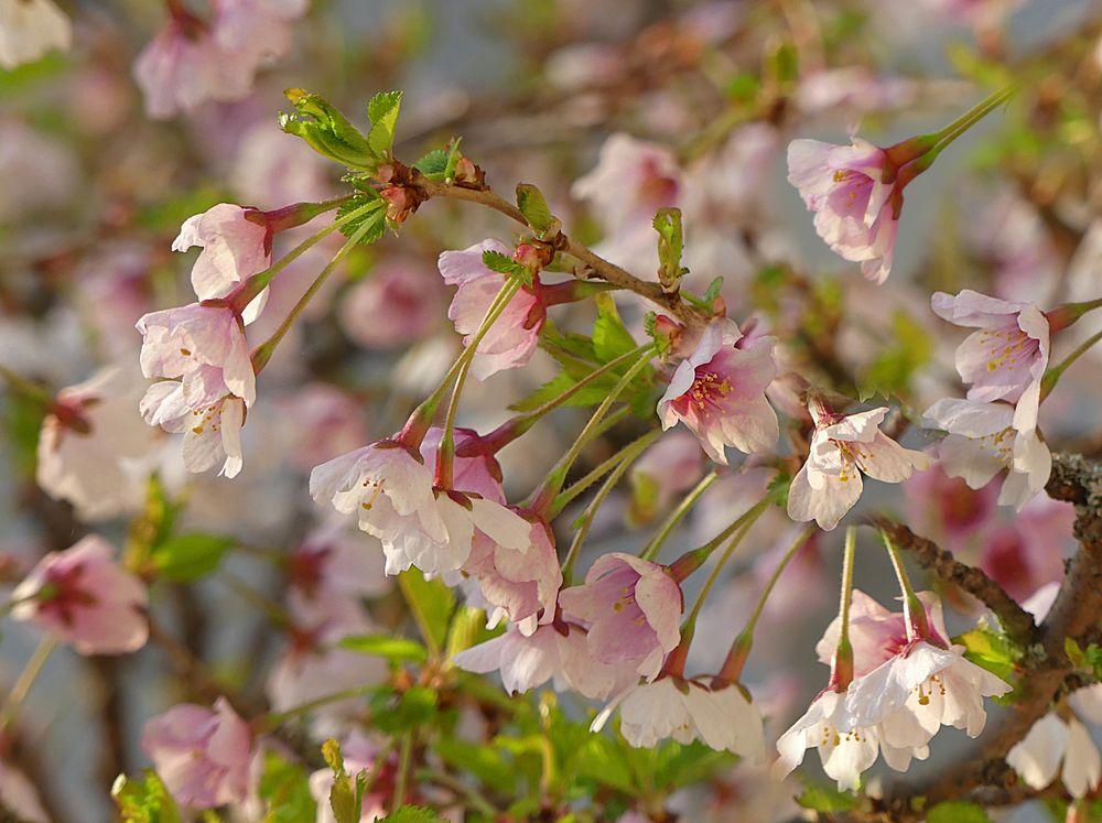 Kleiner Prunus