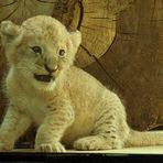 Kleiner Racker ganz gross - Angola-Löwenbaby