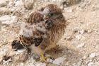Kleiner Raubvogel