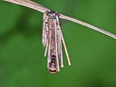 Kleiner Rauch-Sackträger (Psyche casta): das Weibchen!