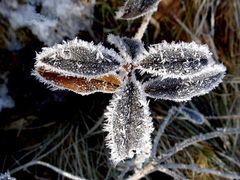 Kleiner Raureiffalter (Pieris niveus)
