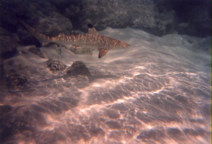 Kleiner Riffhai