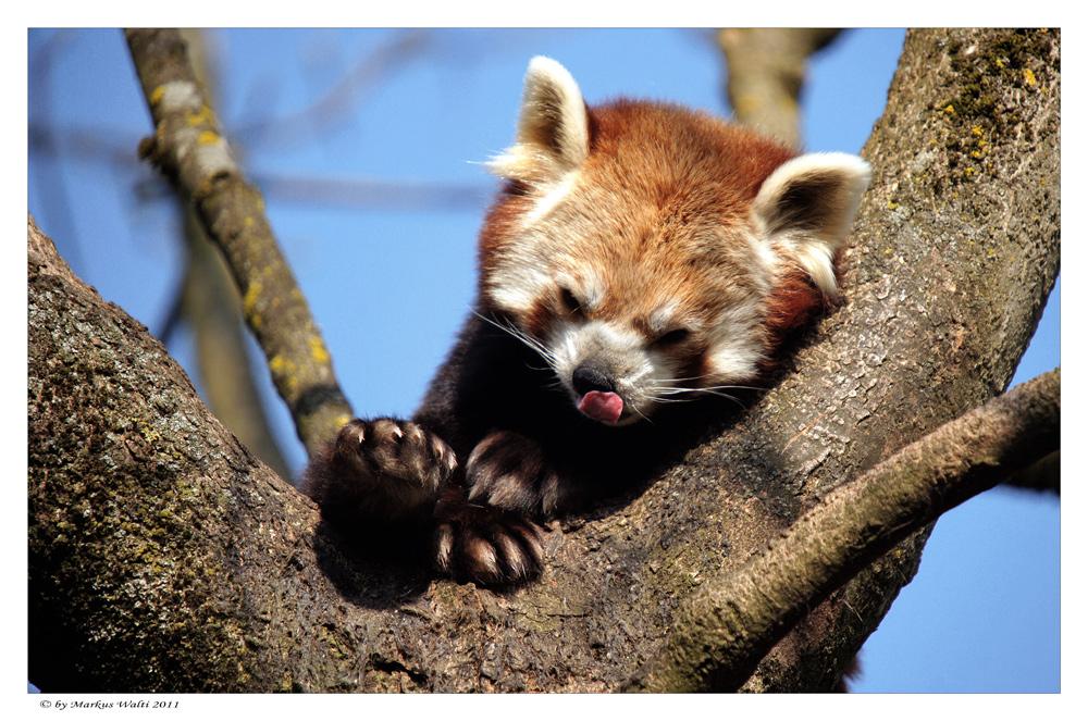 kleiner roter panda foto bild tiere zoo wildpark falknerei s ugetiere bilder auf. Black Bedroom Furniture Sets. Home Design Ideas