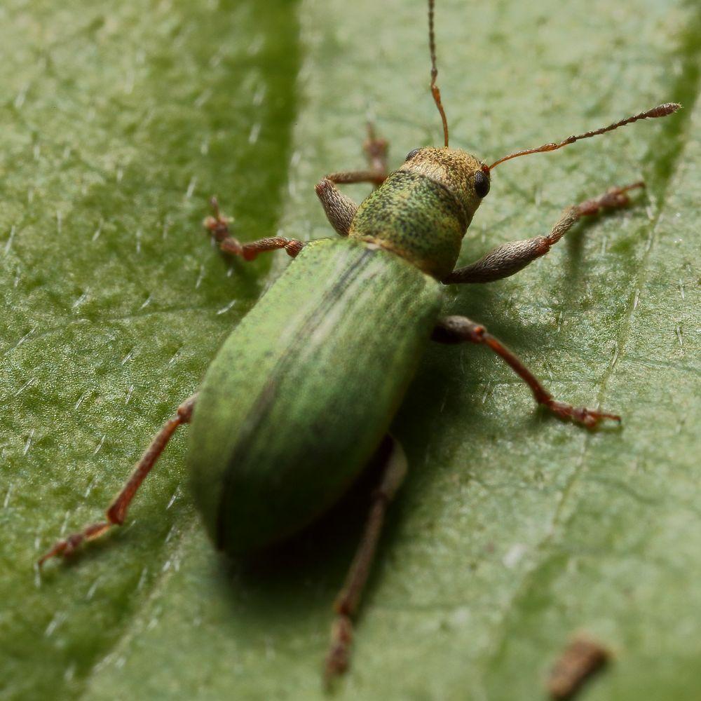 Kleiner Rüsselkäfer ganz groß