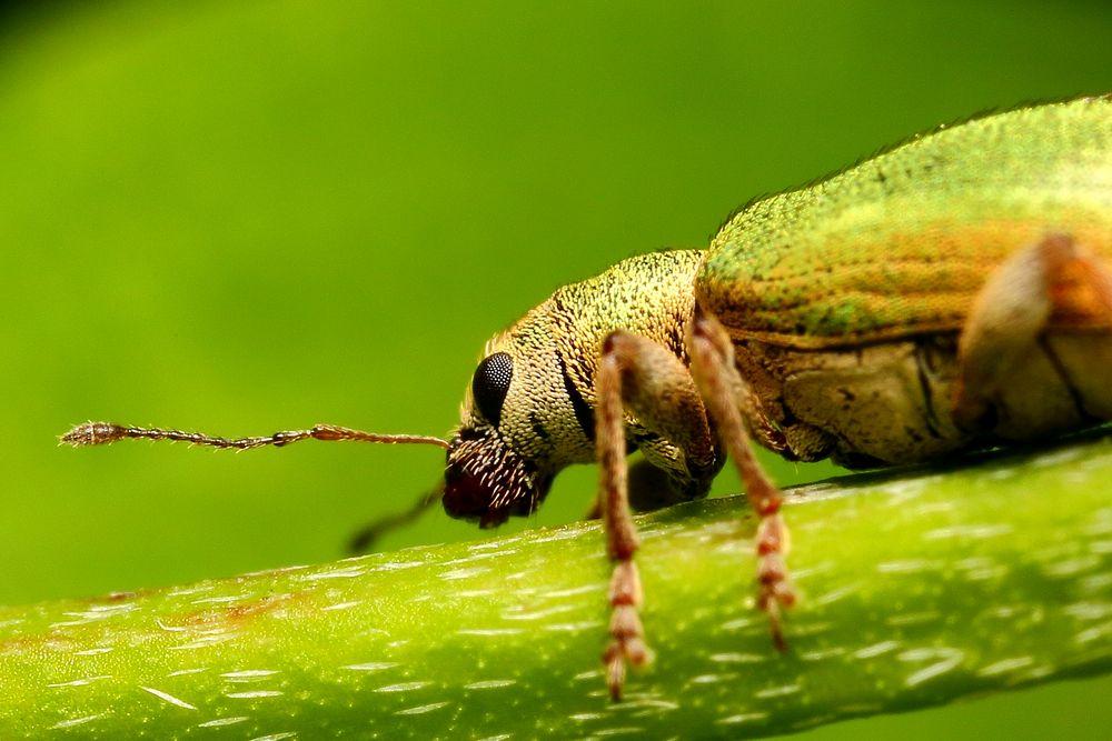 Kleiner Rüsselkäfer ganz groß (Detail)