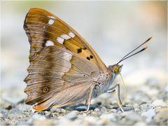 Kleiner Schillerfalter - Apatura ilia