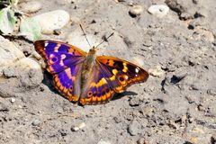Kleiner Schillerfalter (Purple Emporer)