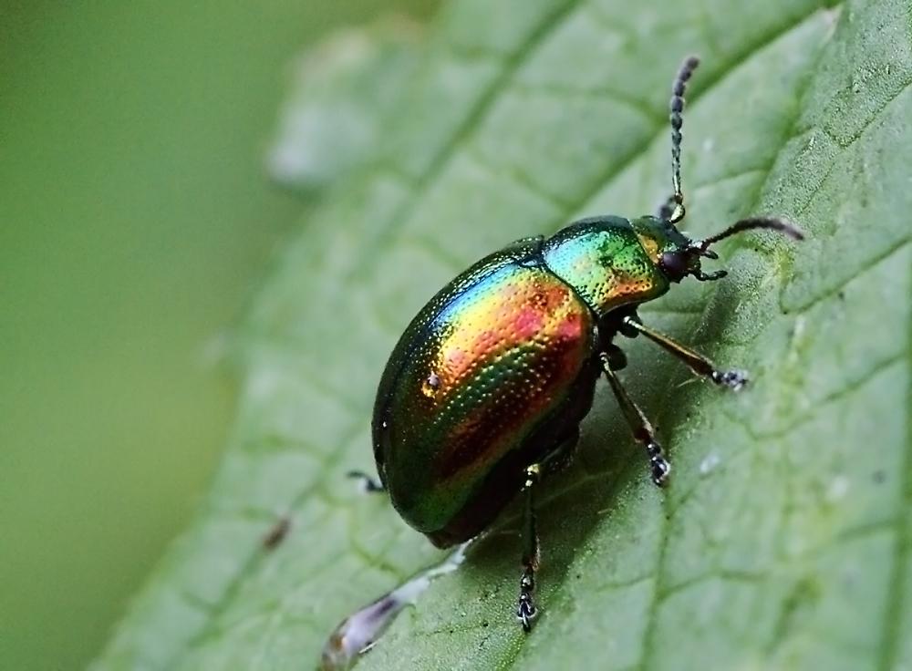 kleiner schillernder k fer foto bild tiere wildlife insekten bilder auf fotocommunity. Black Bedroom Furniture Sets. Home Design Ideas