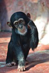 Kleiner-Schimpanse