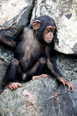 Kleiner Schimpanse