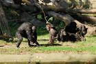 """Kleiner Schimpanse lotet seine Grenzen aus """"Burgers Zoo"""""""