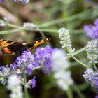 Kleiner Schmetterling auf Lavendel
