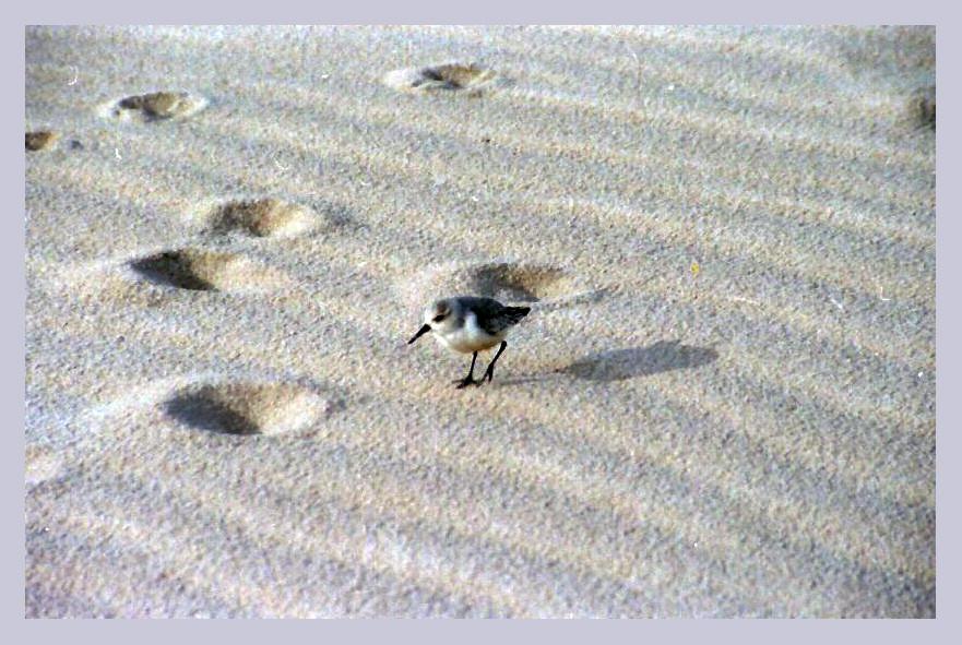 ...kleiner Strandläufer