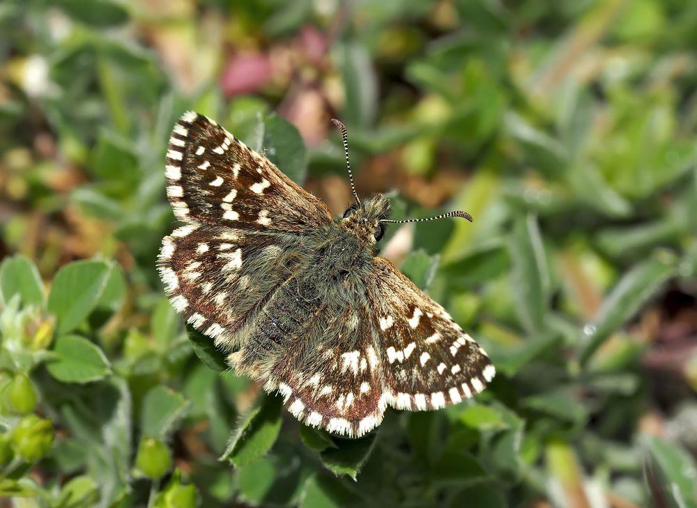 Kleiner südlicher Würfel-Dickkopffalter (Pyrgus malvoides) - Tacheté austral.