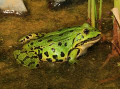 Kleiner Teichfrosch weiblich