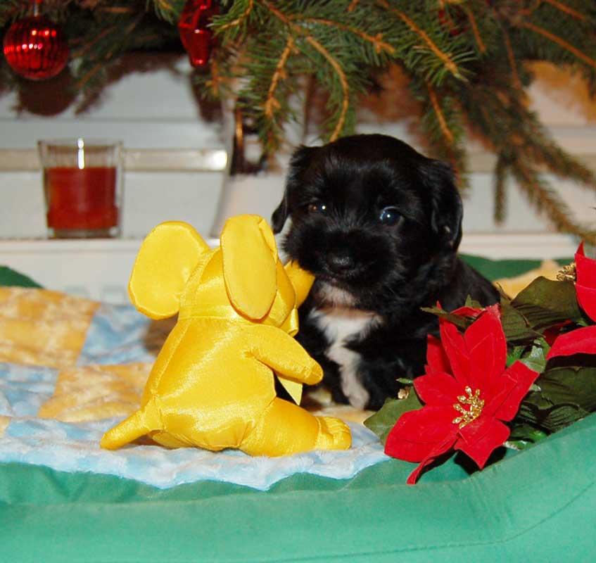 kleiner Tibet Terrier mit seinem Weihnachtsgeschenk