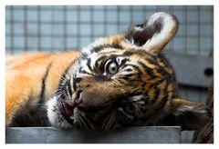 kleiner Tiger