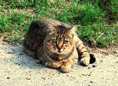 Kleiner Tiger # Pequeño tigre