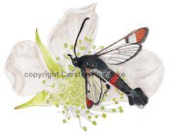 Kleiner Weiden-Glasflügler