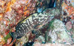 Kleiner Zackenbarsch im Mittelmeer (s-Frankreich)