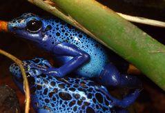 Kleines blaues Fröschlein