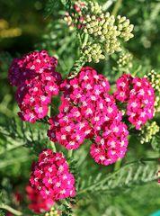 ... kleines Blütenmeer 1