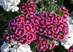 ... kleines Blütenmeer 2