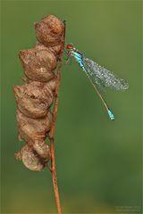 Kleines Granatauge (Erythromma viridulum)