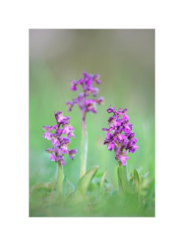 Kleines Knabenkraut, Anacamptis morio (Orchidee)