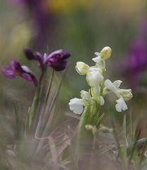 Kleines Knabenkraut (Salep-Knabenkraut) Orchis Morio