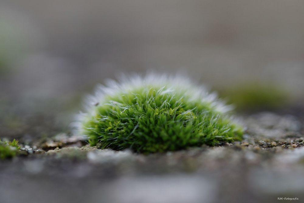 kleines Moosköpfchen