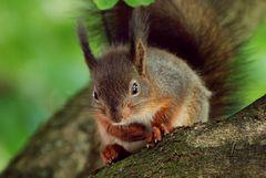 Kleines, nachdenkliches Eichhörnchen