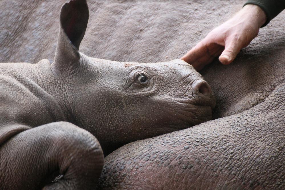 Kleines Nashorn