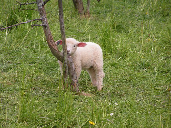 Kleines norwegisches Lamm