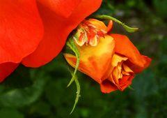 Kleines Röschen am Rand der großen Rose!