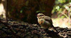 Kleines Rotkehlchen allein im Wald