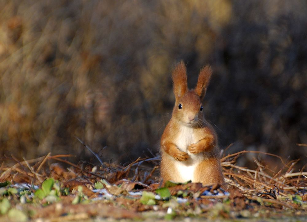 Kleines, schüchternes Eichhörnchen