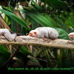 Kleines Silberäffchen im Gondwanaland - Zoo Leipzig