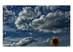 kleines Sonnenblümchen