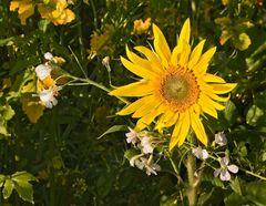 Kleines Sonnenblümchen!