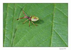 Kleines unbekanntes Insekt....es könnte eine Randwanze sein...