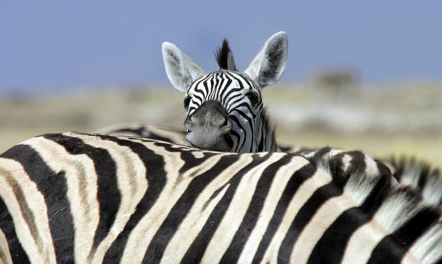 kleines und großes Zebra