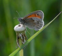 kleines wiesenvögelchen
