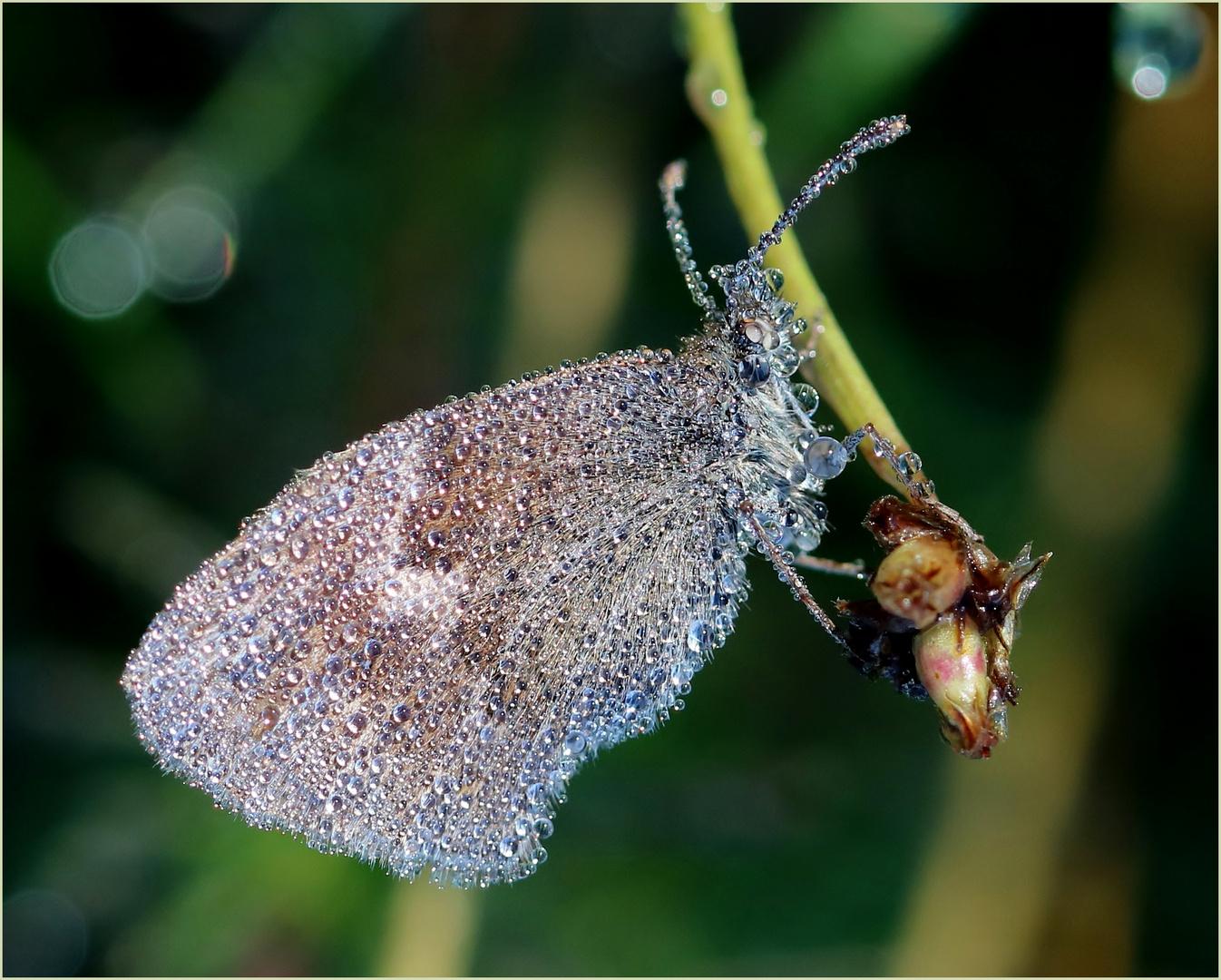 kleines wiesenv gelchen coenonympha pamphilus foto bild sommer makro natur bilder auf. Black Bedroom Furniture Sets. Home Design Ideas
