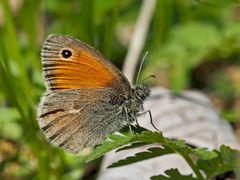 Kleines Wiesenvögelchen (Coenonympha pamphilus) - Le Petit Papillon des foins.