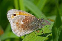 Kleines Wiesenvögelchen (Coenonympha pamphilus) - Le Procris appelé aussi le Fadet commun.