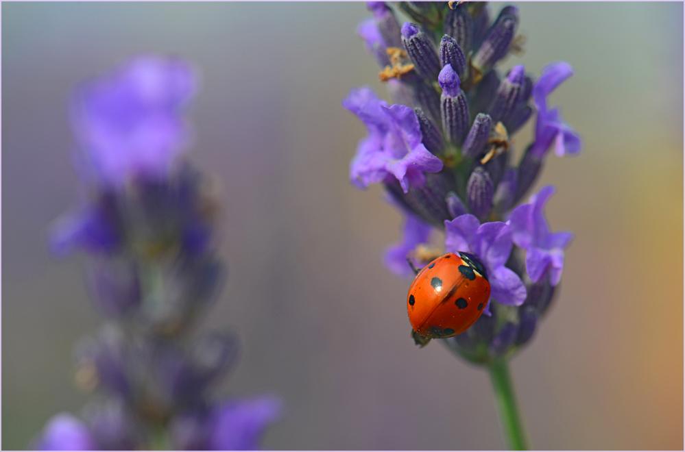 Kleinigkeiten im Lavendelmeer
