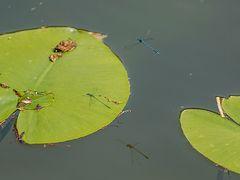 Kleinlibelle, dreifach